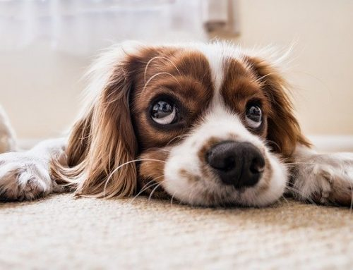 How to Get Stubborn Pet Hair off Your Carpets
